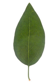 Image showing not to measure the petiole