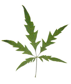 image of a palmately compound leaf