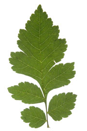 Partially pinnately lobed leaf