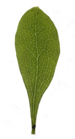 leaf obovate
