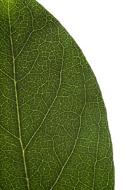 image of an entire (non-toothed) leaf margin