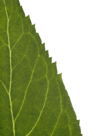 image of a leaf margin with irregular teeth