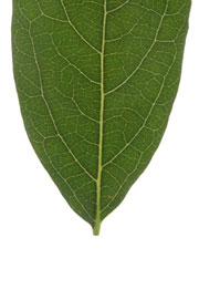 leaf with an acute base