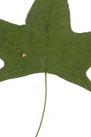 leaf with a cordate base