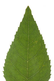 leaf with an acute apex