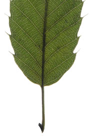 leaf with a round base