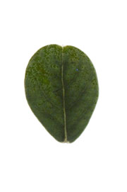 leaf with an emarginate apex