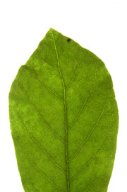 leaf witn an acute apex