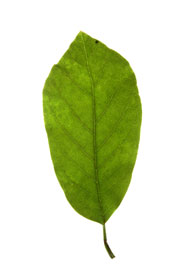 obovate leaf