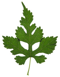 Rollover image showing pinnately lobed leaf