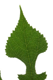 leaf with an attenuate apex