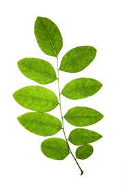 Image of pinnately compound leaf