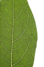 entire margined leaf