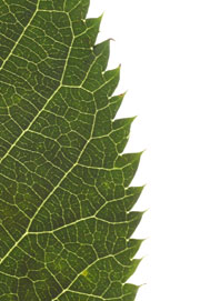 leaf with acute teeth