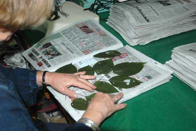 preparing leaves for drying