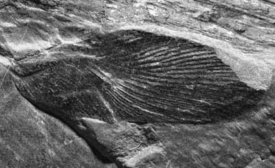 Photograph of a fossil insect wing.